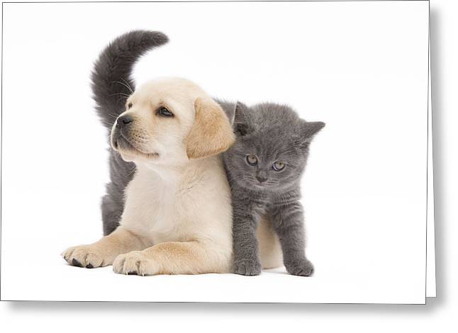 Labrador Puppy And Chartreux Kitten Greeting Card by Jean-Michel Labat