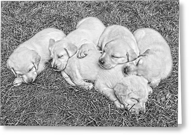Labrador Retriever Puppies Nap Time Black And White Greeting Card by Jennie Marie Schell