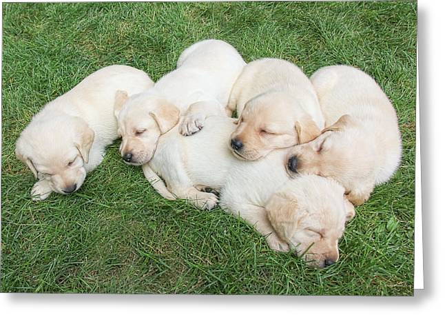 Labrador Retriever Puppies Nap Time Greeting Card by Jennie Marie Schell