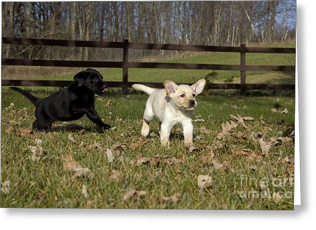 Labrador Retriever Pups Greeting Card by Linda Freshwaters Arndt