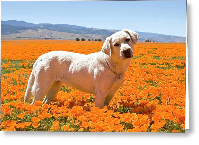 Labrador Retriever Standing In A Field Greeting Card