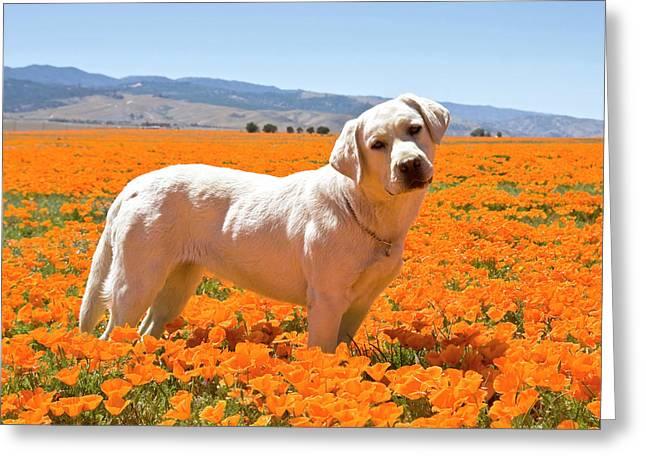 Labrador Retriever Standing In A Field Greeting Card by Zandria Muench Beraldo