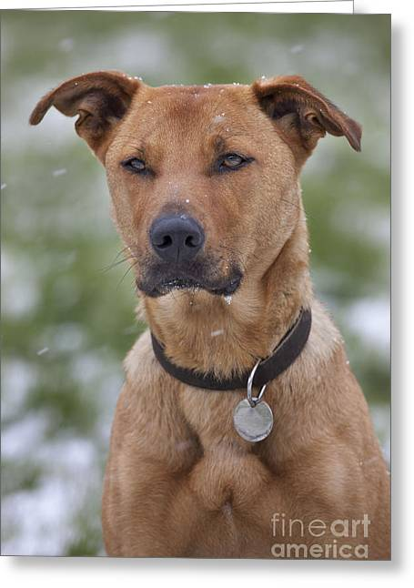 Labradormalinois Mix Greeting Card by Johan De Meester