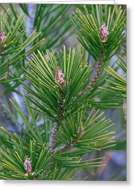 Lace-bark Pine (pinus Bungeana) Greeting Card by Dr. Nick Kurzenko
