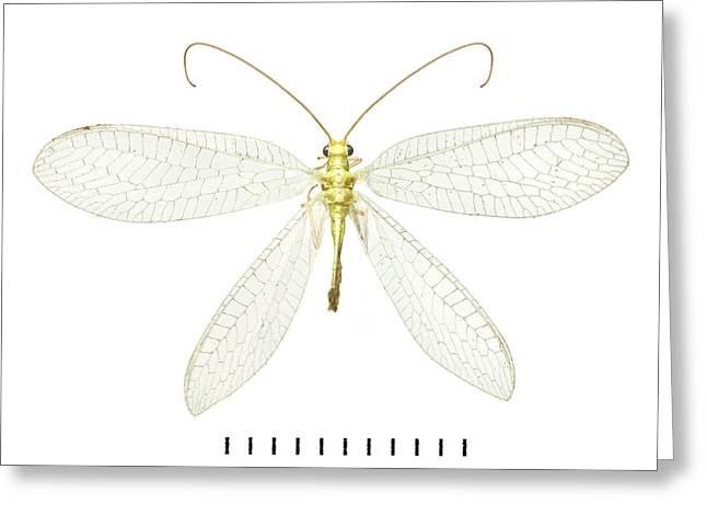 Lacewing Greeting Card by Natural History Museum, London