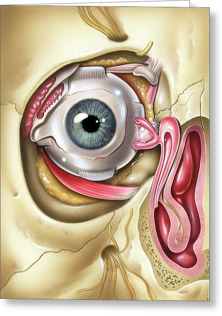 Lacrimal Apparatus Of The Eye Greeting Card by John Bavosi