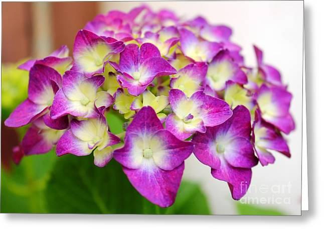 Lacy Hydrangea Greeting Card by Judy Palkimas