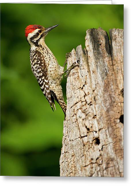 Ladder-backed Woodpecker (picoides Greeting Card by Larry Ditto