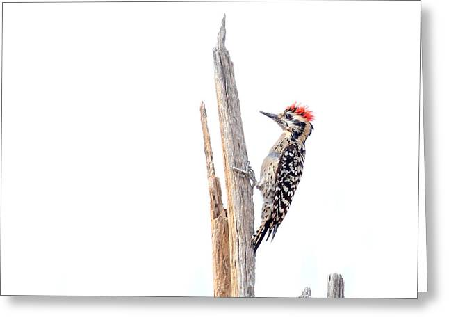 Ladder-backed Woodpecker Greeting Card by Ruth Jolly