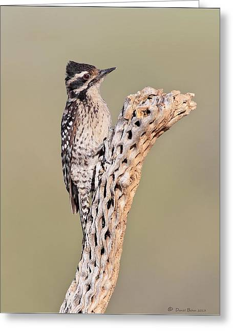 Ladderbacked Woodpecker Greeting Card by Daniel Behm