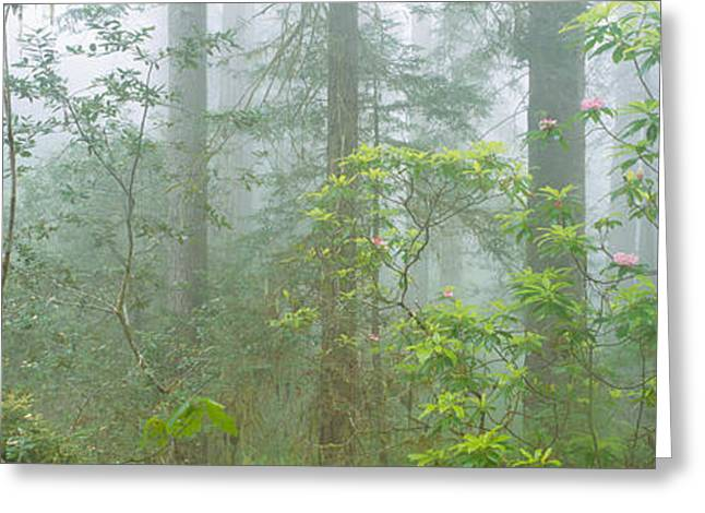 Lady Bird Johnson Grove Of Old-growth Greeting Card by Panoramic Images