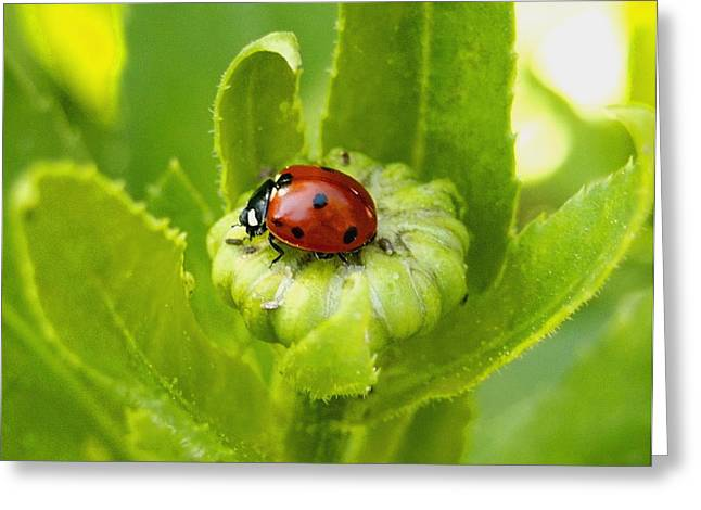 Lady Bug In The Garden Greeting Card by Amy McDaniel