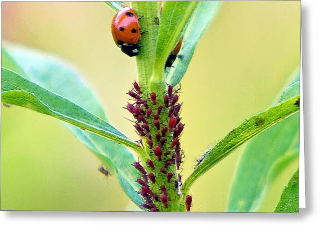 Lady Bug Keeping Watch Over Her Favorite Dinner Greeting Card