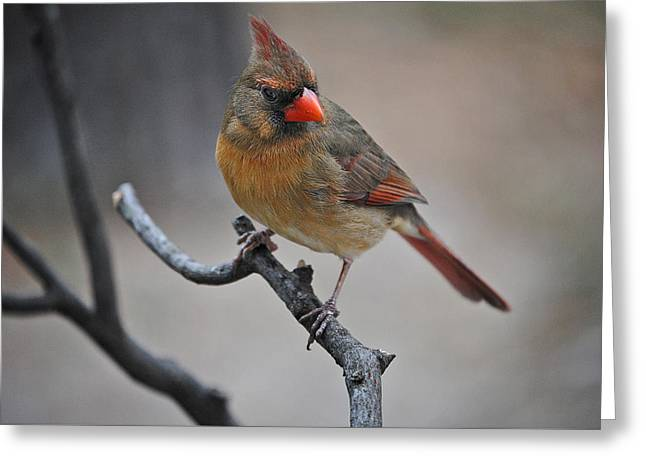 Lady Cardinal Greeting Card by Skip Willits