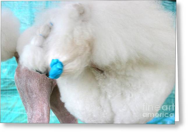 Lady Gaga's Poodle Pre-show Greeting Card