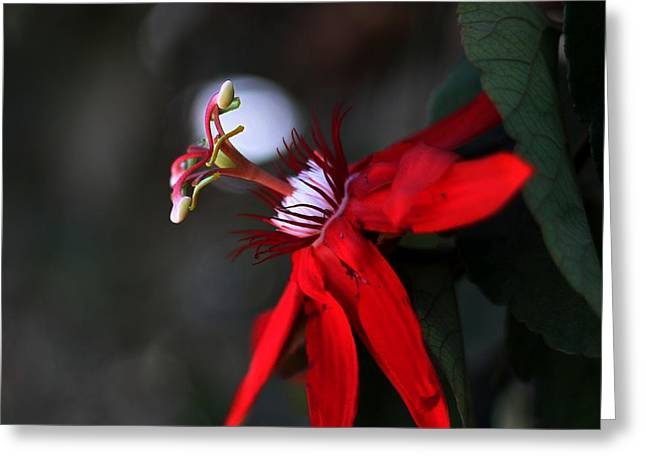 Lady Margaret - Passionflower  Greeting Card by Ramabhadran Thirupattur