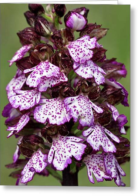 Lady Orchid (orchis Purpurea) Flowers Greeting Card by Bob Gibbons
