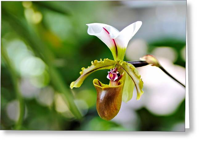 Lady Slipper Greeting Card