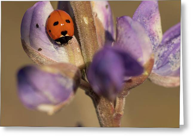 Ladybird Beetle On Lupine Flowers Greeting Card by Rob Sheppard