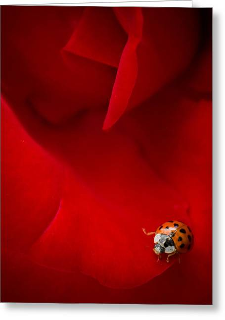 Greeting Card featuring the photograph Ladybird In Rose by Peta Thames