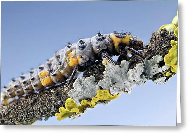 Ladybird Larva Greeting Card by Nicolas Reusens
