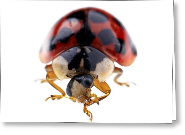 Ladybird Macro Greeting Card by Jane Rix