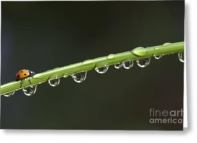 Ladybird On Grass Stem Greeting Card by Tim Gainey