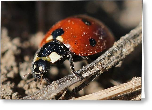 Ladybug 2 Greeting Card by Lorri Crossno