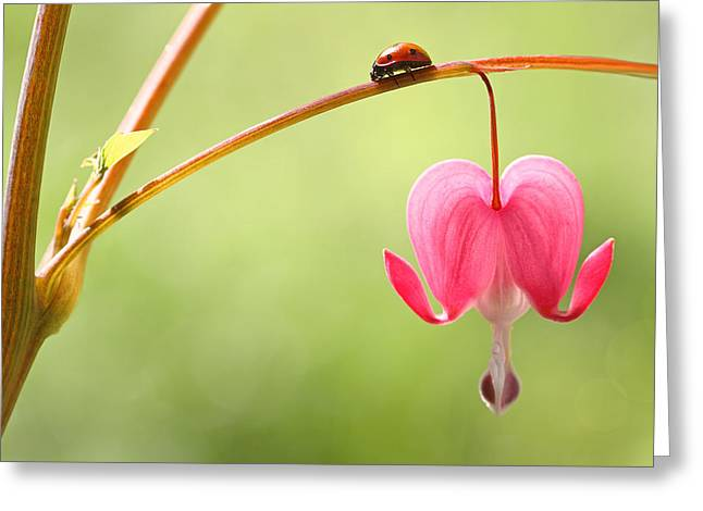 Ladybug And Bleeding Heart Flower Greeting Card