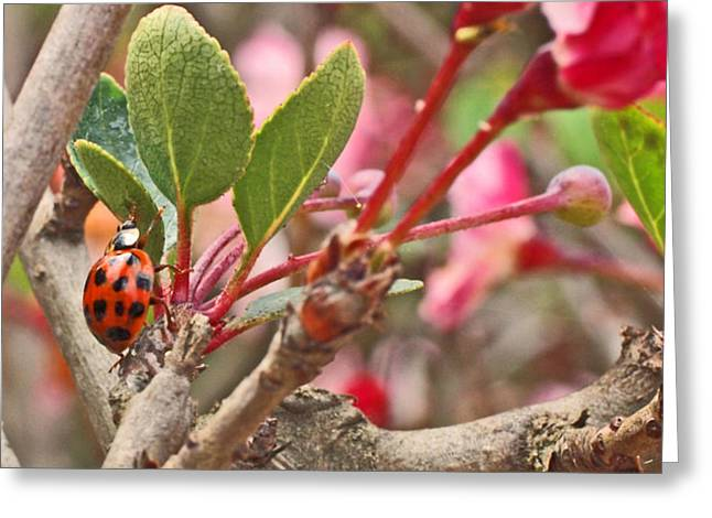 Ladybug And Crabapple Greeting Card by Rona Black