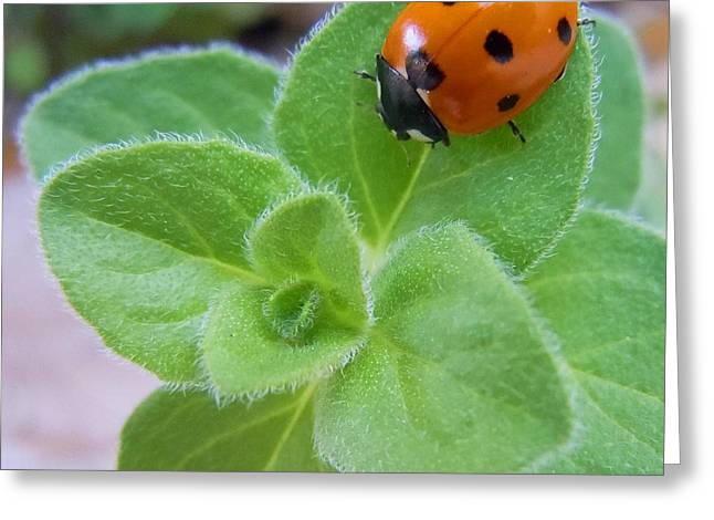 Greeting Card featuring the photograph Ladybug And Oregano by Robert ONeil