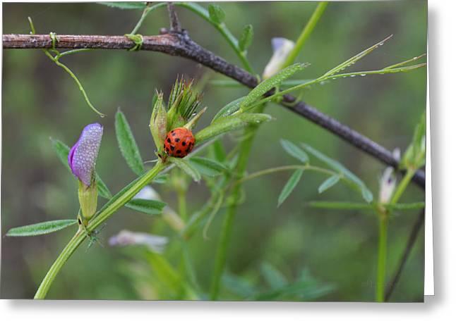 Ladybug And Vetch Flower Greeting Card
