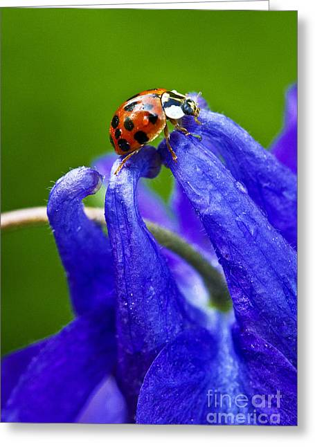 Greeting Card featuring the photograph Ladybug by Carrie Cranwill