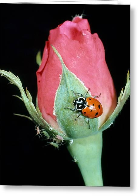 Ladybug Eating Aphids Greeting Card