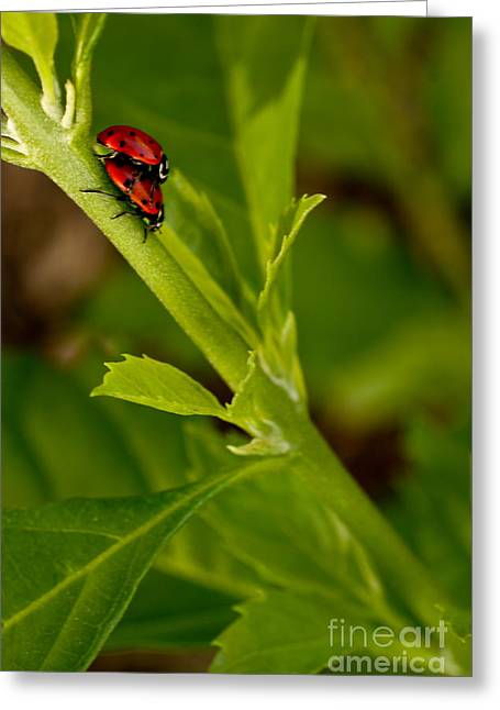 Ladybug Ladybug Greeting Card
