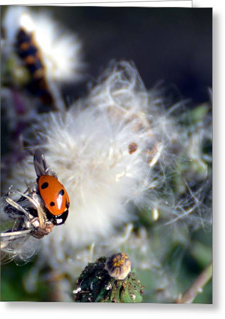 Greeting Card featuring the photograph Ladybug by Linda Cox