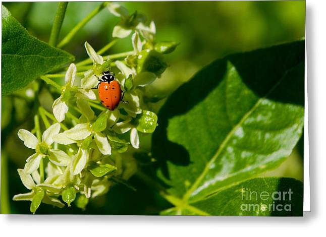 Ladybug On Flowers Greeting Card