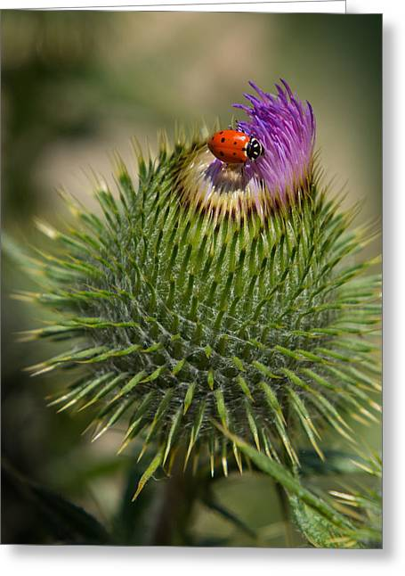 Greeting Card featuring the photograph Ladybug On Thistle by Janis Knight