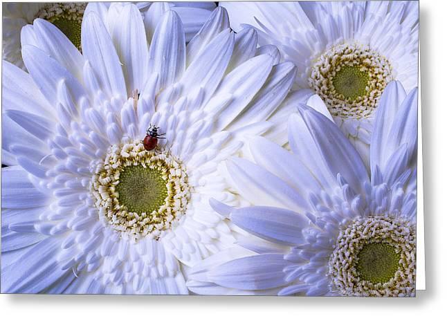 Ladybug On White Daisy Greeting Card