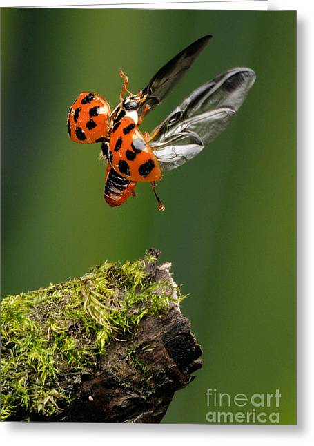 Ladybug Taking Off Greeting Card by Scott Linstead