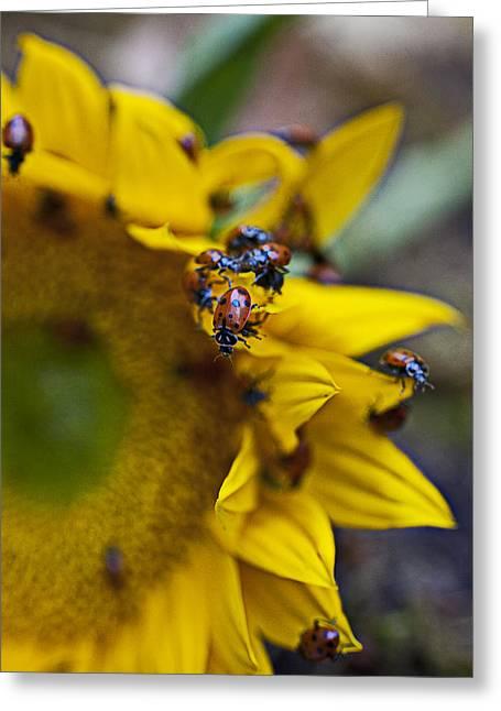 Ladybugs Close Up Greeting Card