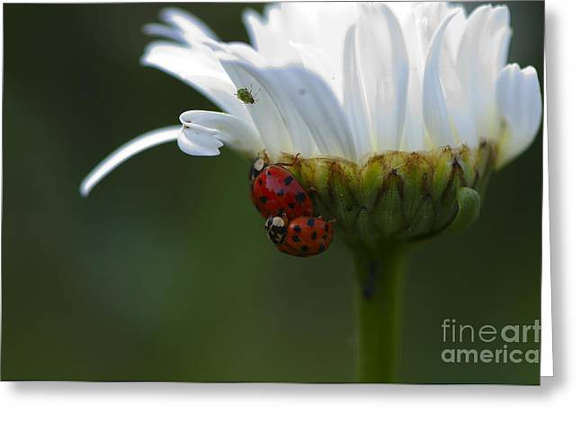 Ladybugs On Shasta Daisy Greeting Card