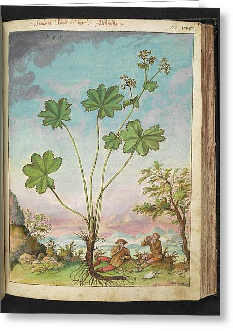 Lady's Mantle (alchemilla Sp.) Greeting Card by British Library