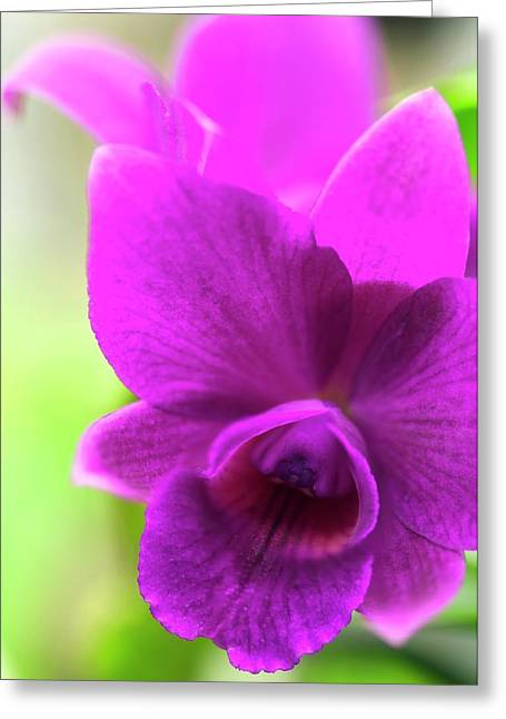 Laeliocattleya Orchid Greeting Card by Maria Mosolova
