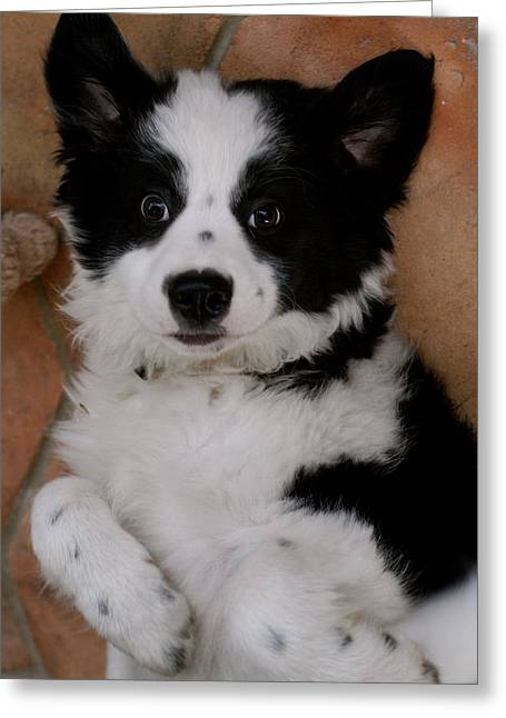Laid Back Border Collie Greeting Card by John Colley