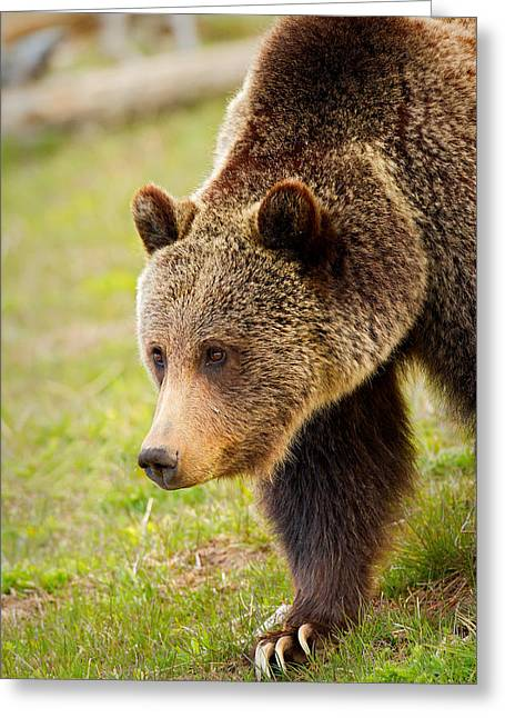 Greeting Card featuring the photograph Lake Grizzly by Aaron Whittemore