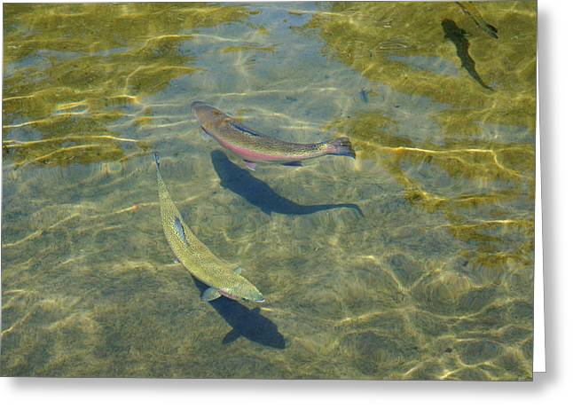 Lake Trout Art Prints Rainbow Trout Canvas Greeting Card by Baslee Troutman