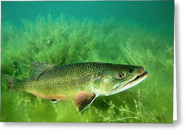 Lake Trout Portrait, Emerald Lake Greeting Card by James White