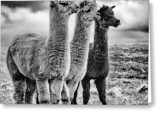 Lama Lineup Greeting Card by John Farnan