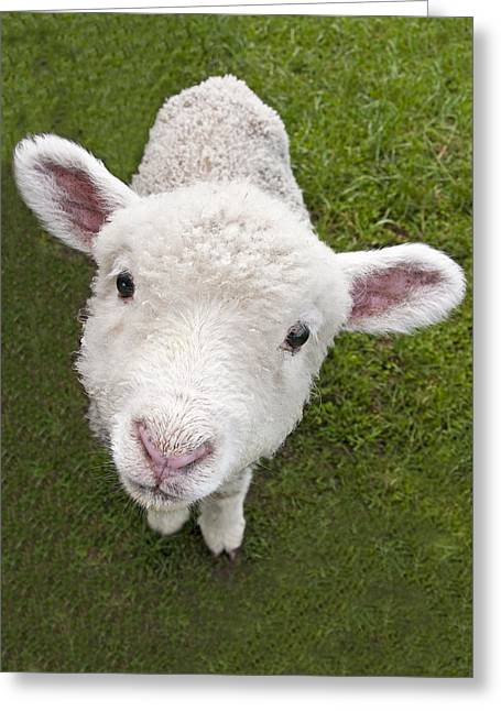 Greeting Card featuring the photograph Lamb by Dennis Cox WorldViews
